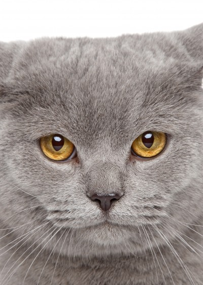 Angry British Shorthair cat