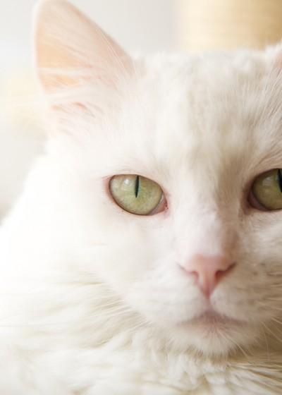 general-practitioner-advanced-certificate-in-feline-medicine
