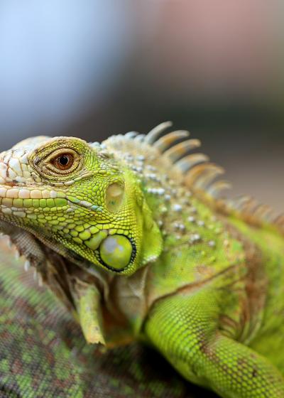 anestesia_reptiles_WEB_adobe