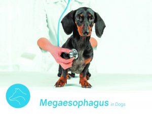 megaesophagus-in-dogs