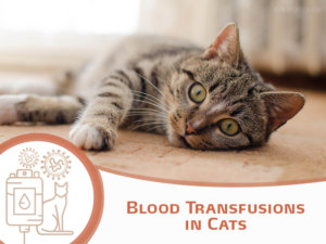 Blood Transfusions in Cats