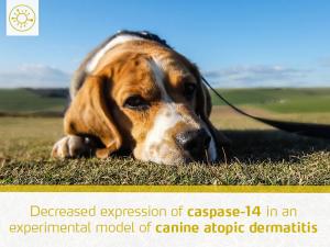 decreased-expression-caspase-14-experimental-model-canine-atopic-dermatitis